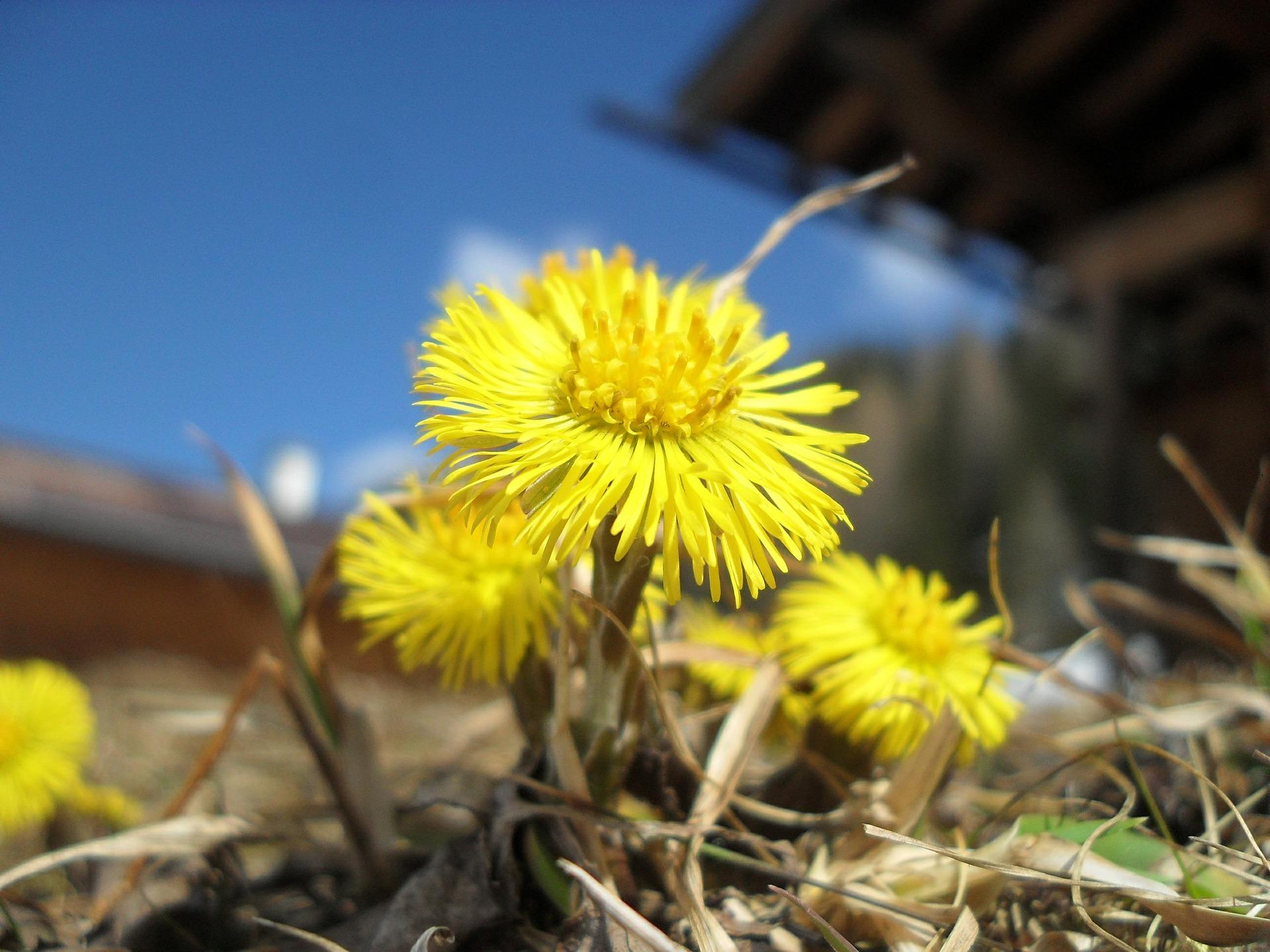 Pavasario saulės – šalpusniai