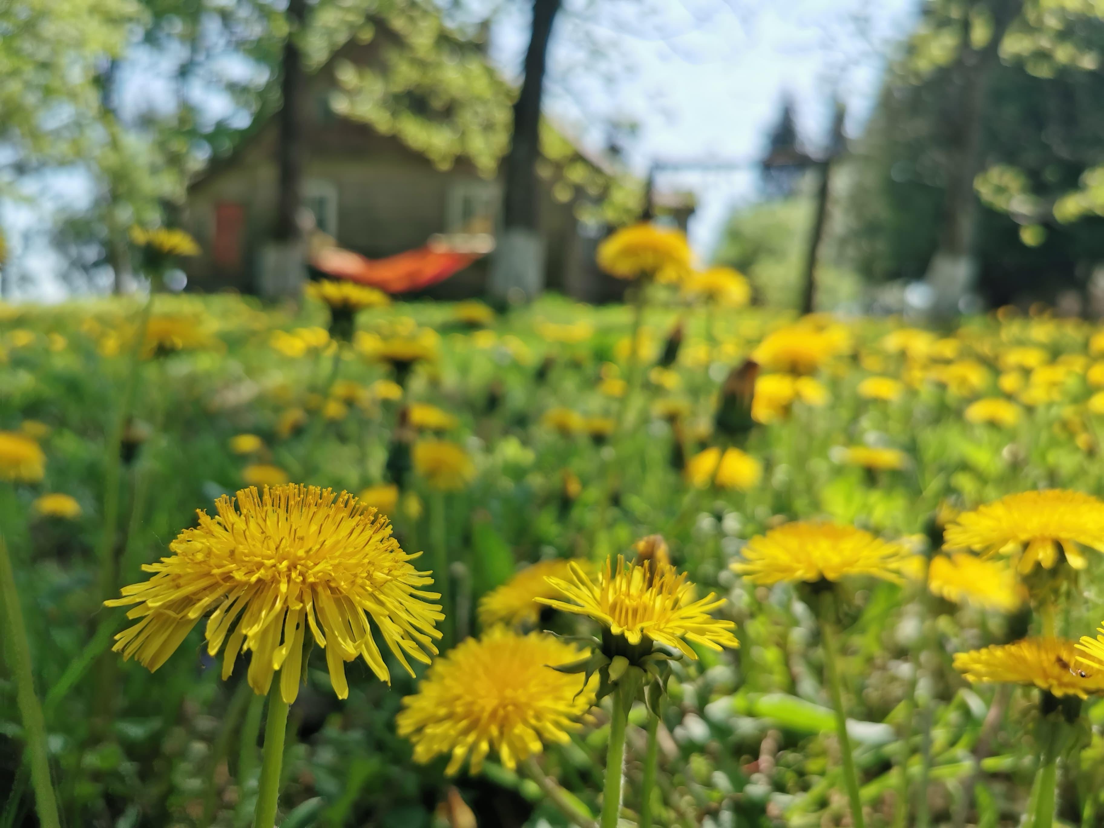 Kiaulpienė – piktžolė ar naudingas augalas?