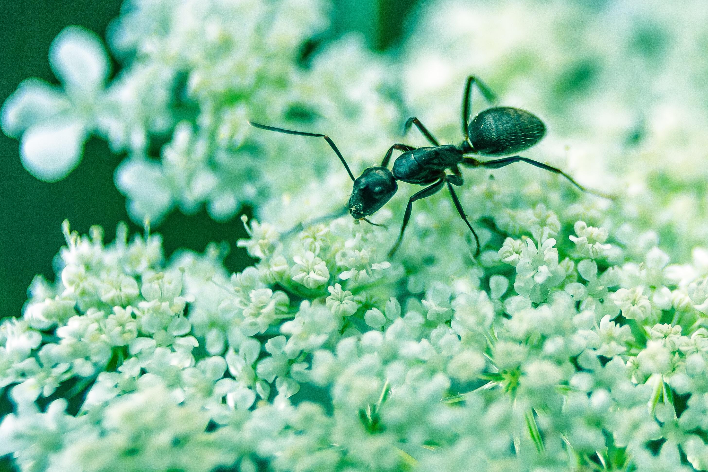 skruzdėlės