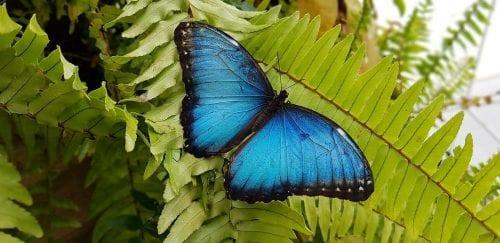 drugelių stebėjimas