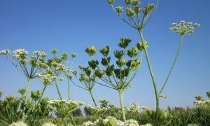 Augalai, sukeliantys alergines reakcijas
