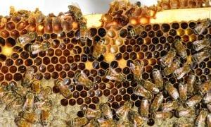 Bitė, širšė, vapsva – naudinga ar pavojinga?