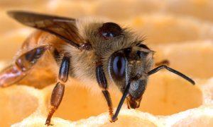 Naudinga bičių dovana – propolis