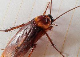tarakonai