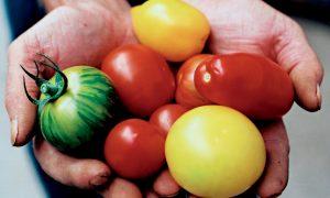 Kodėl verta valgyti pomidorus?