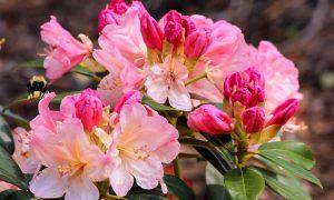 Rododendrų ir magnolijų priežiūra