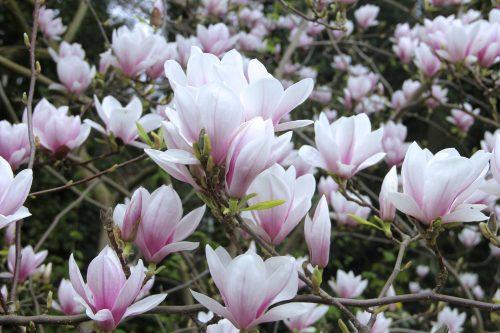magnolijų priežiūra