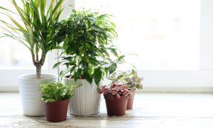 Kambarinės gėlės – ne tik dėl grožio